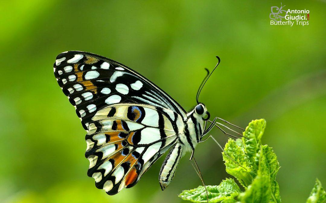 The Lime Butterflyผีเสื้อหนอนมะนาวPapilio demoleus