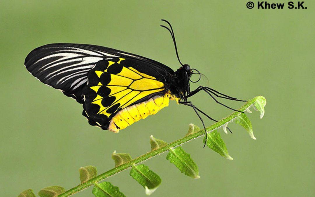 The Malayan Birdwingผีเสื้อถุงทองปักษ์ใต้ Troides amphrysus