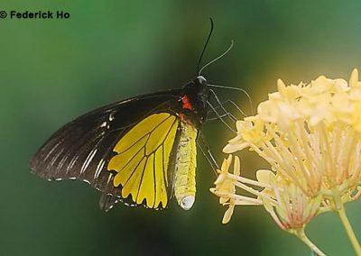 The Mountain Birdwingผีเสื้อถุงทองภูเขาTroides cuneifera