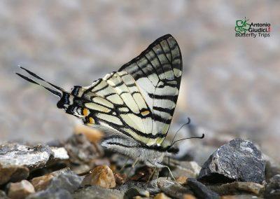 The Spectacles Swordtailผีเสื้อหางดาบสองห่วงGraphium mandarinus