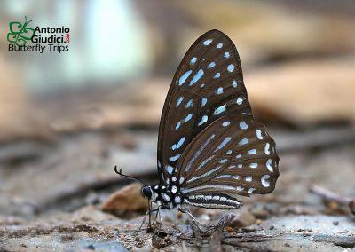 The Spotted Zebraผีเสื้อม้าลายลายจุดGraphium megarus