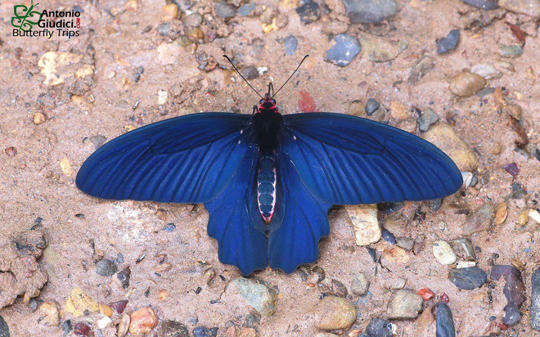 The Striped Batwingผีเสื้อปีกค้างคาวข้างแถบAtrophaneura aidoneus