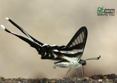 The White Dragontailผีเสื้อหางมังกรขาวLamproptera curius curius