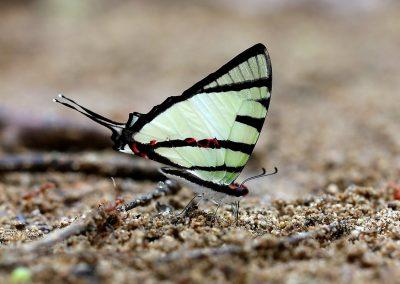 The Fourbar SwordtailหางดาบภูเขาGraphium agetes