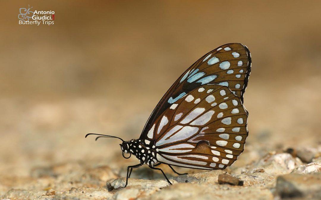 The Broad Blue Tigerผีเสื้อลายเสือฟ้าแถบกว้างTirumala limniace
