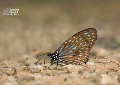 The Dark Blue Tigerผีเสื้อลายเสือฟ้าเข้มTirumala septentrionis