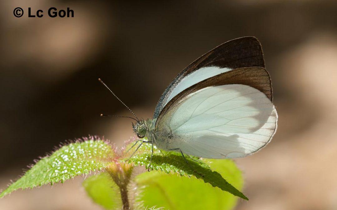 The Forest Whiteผีเสื้อขาวดงUdaiana cynis
