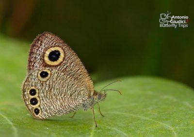 The Common Fourringผีเสื้อสีตาลจุดตาสี่ธรรมดาYpthima huebneri