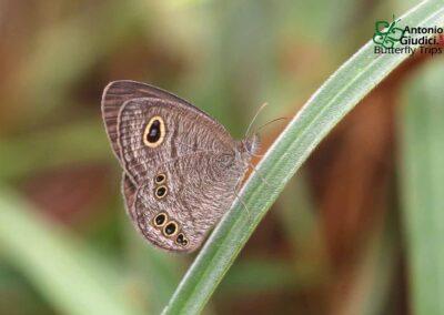 The Jewel Fourringผีเสื้อสีตาลจุดตาสี่มณีรัตน์Ypthima lisandra