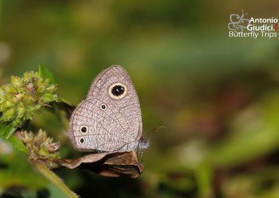 The Burmese Threeringผีเสื้อสีตาลจุดตาสามพม่าYpthima norma