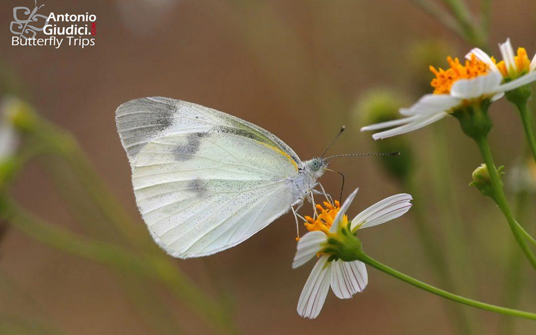 The Small Cabbage Whiteผีเสื้อหนอนกะหล่ำเล็กArtogeia rapae