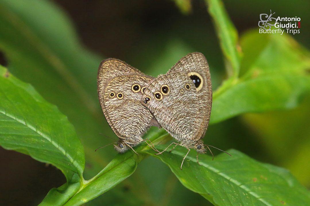 The Eastern Fiveringผีเสื้อสีตาลจุดตาห้าสีจางYpthima similis