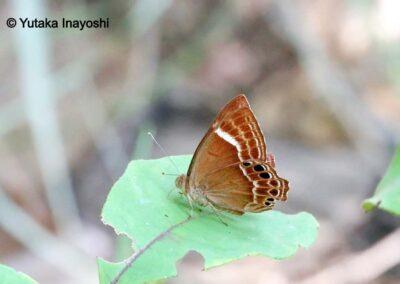 n/an/aAbisara latifasciata