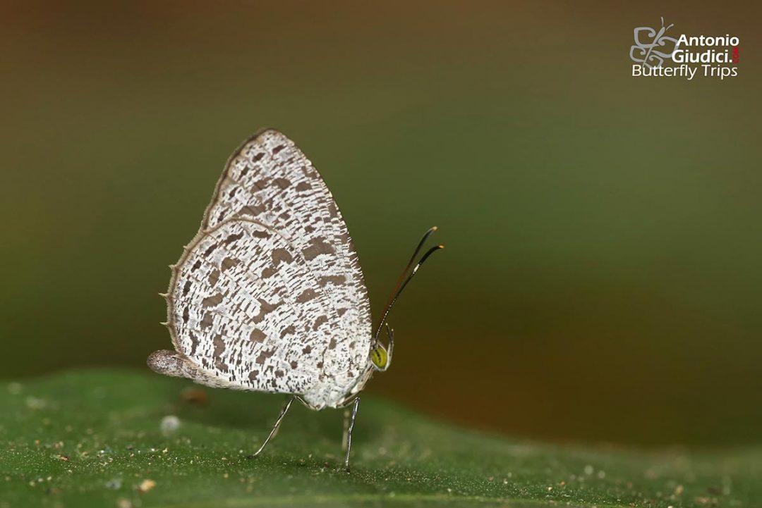The Common Darkieผีเสื้อกระดำธรรมดาAllotinus horsfieldi