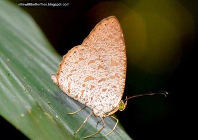 The Small Malayan Darkieผีเสื้อกระดำน้อยมลายูAllotinus strigatus