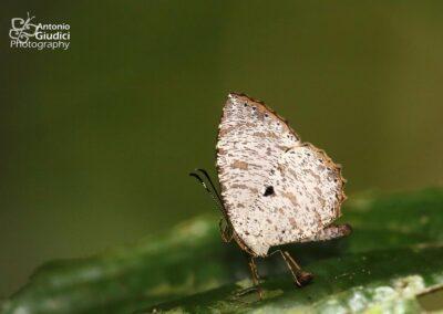 The Lesser Darkieผีเสื้อกระดำเล็กAllotinus substrigosus