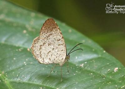 The Brown-tipped Darkien/aAllotinus taras