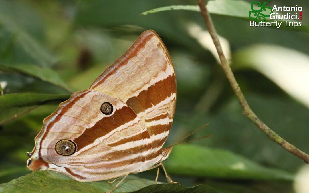 The Pale-haired Palmkingผีเสื้อหนอนมะพร้าวขนจางAmathusia ochraceofusca