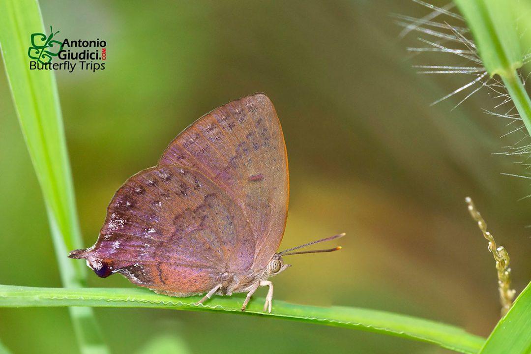 The Purple Leaf Blueผีเสื้อม่วงใบไม้Amblypodia anita