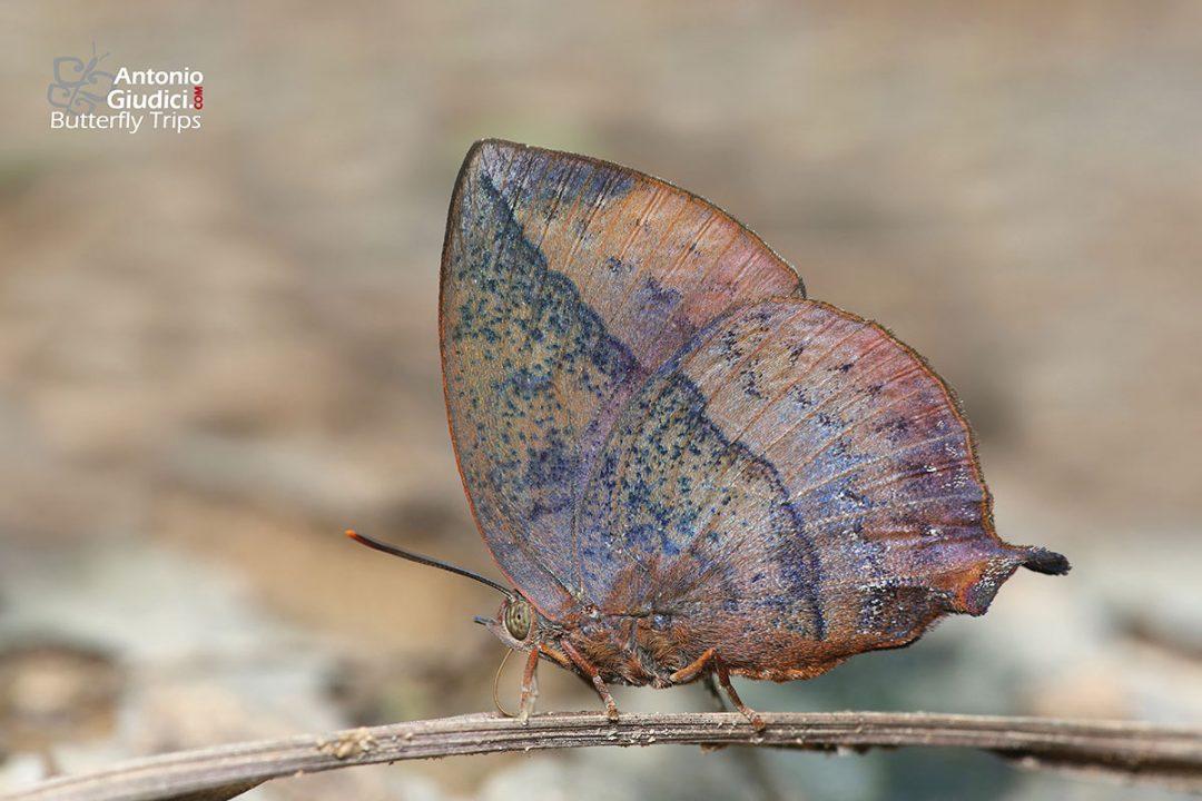 The Blue Leaf Blueผีเสื้อม่วงใบไม้ใหญ่Amblypodia narada