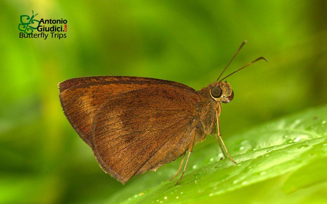 The Chocolate Demonผีเสื้อนิลกายสีตาลAncistroides nigrita