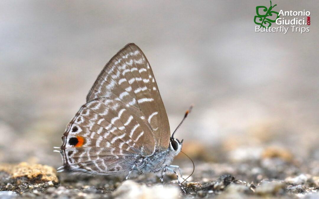 The White Ciliate Blueผีเสื้อฟ้าขอบขนขีดขาวAnthene licates