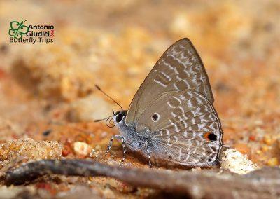 The Pointed Ciliate Blueผีเสื้อฟ้าขอบขนปีกจุดAnthene lycaenina