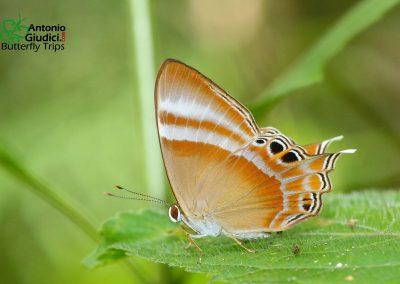 The Malay Tailed Judyผีเสื้อปีกกึ่งหุบมลายูArchigenes savitri