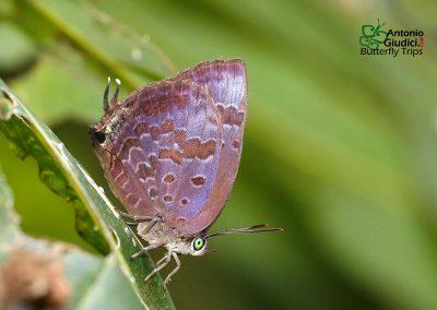 The Purple-glazed Oakblueผีเสื้อฟ้าไม้ก่ออะกาบ้าArhopala agaba