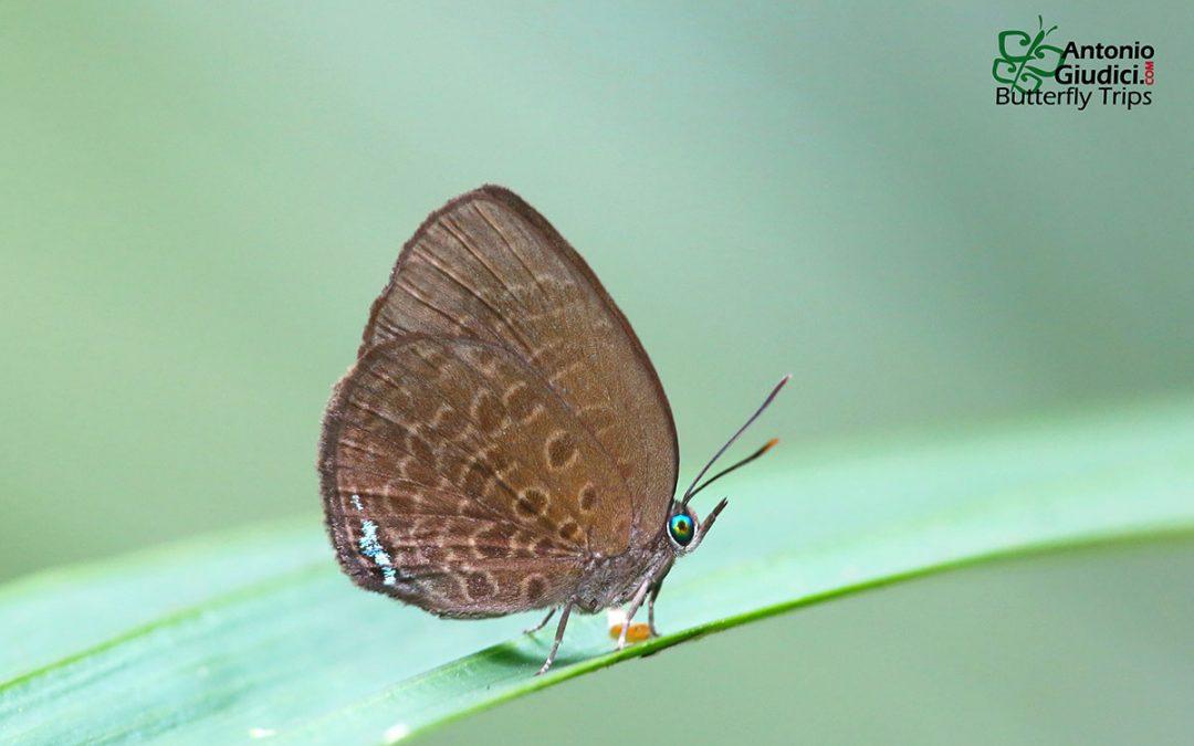 The Corbett's Dull Oakblueผีเสื้อฟ้าไม้ก่อมัวคอร์เบ็ตArhopala agesilaus