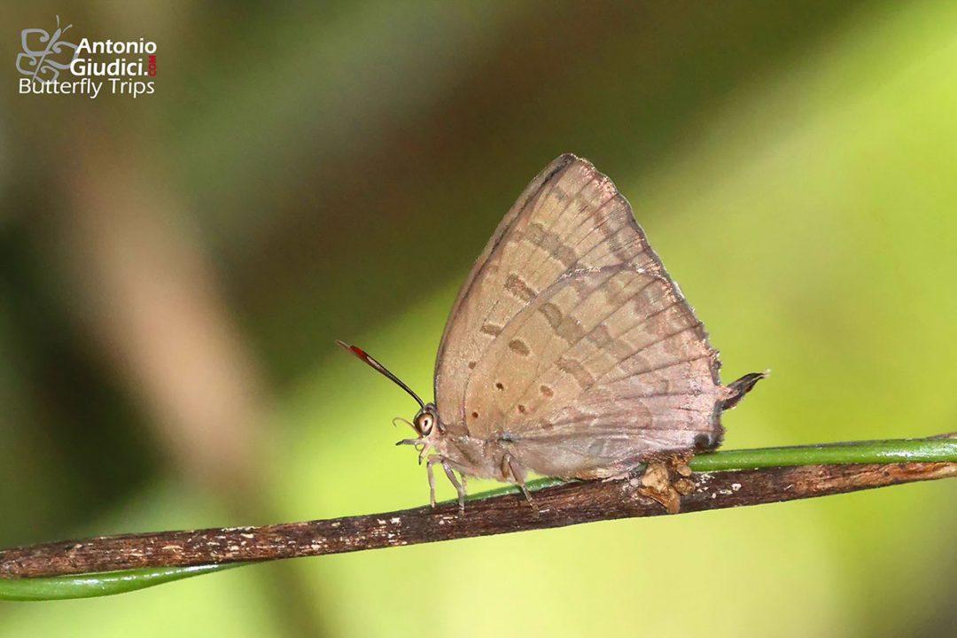The Silky Oakblueผีเสื้อฟ้าไม้ก่อสีไหมArhopala alax