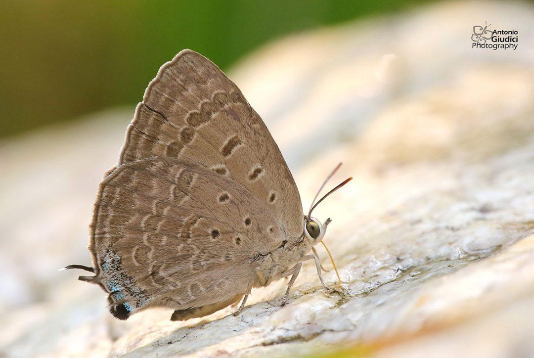 The Indian Oakblueผีเสื้อฟ้าไม้ก่ออินเดียArhopala atrax