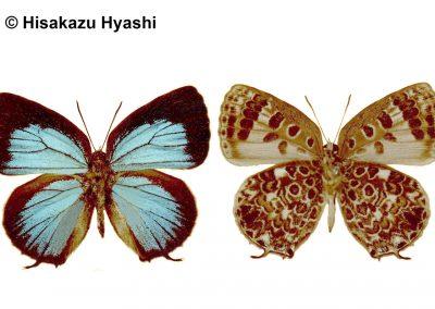 The Pale Pallid Oakblueผีเสื้อฟ้าไม้ก่อขอบเขียวไร้หางArhopala alesia