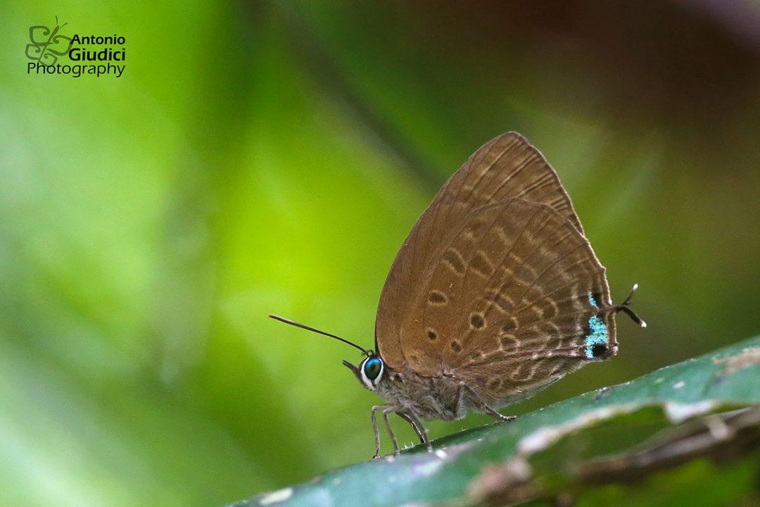 The Rosy Oakblueผีเสื้อฟ้าไม้ก่อสีกุหลาบArhopala allata