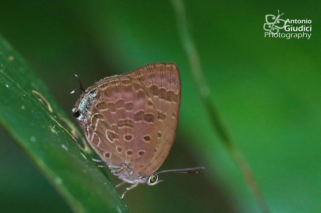 The Pinkish-washed Oakblueผีเสื้อฟ้าไม้ก่อฉาบชมพูArhopala ariana