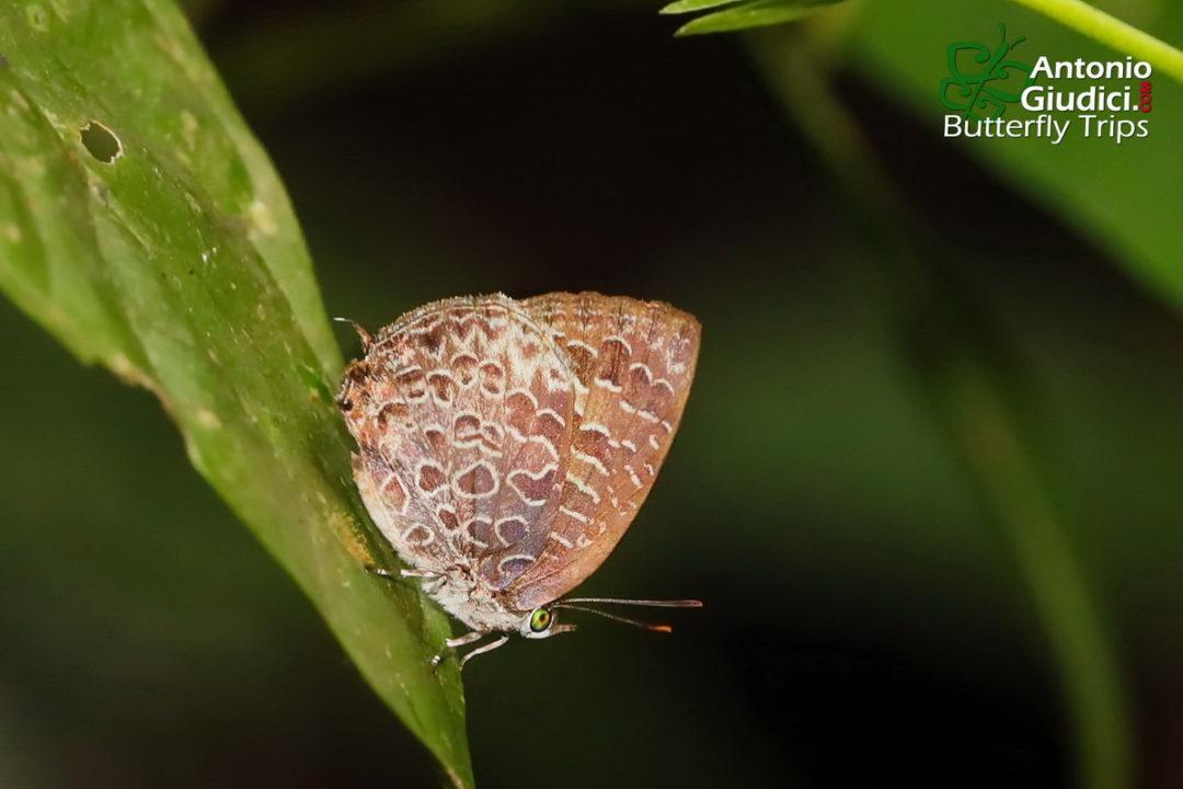 The Chocolate Bushblueผีเสื้อจุดขาวสีตาลไหม้Arhopala ariel