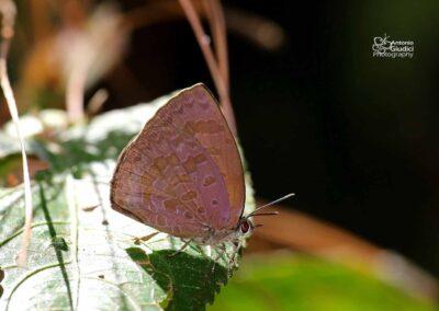 The Purple-brown Tailess Oakblue ผีเสื้อฟ้าไม้ก่อม่วงตาลหางกุด Arhopala arvina
