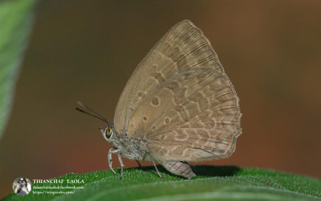 The Plain Tailess Oakblueผีเสื้อฟ้าไม้ก่อสีพื้นจางไร้หาArhopala asopia