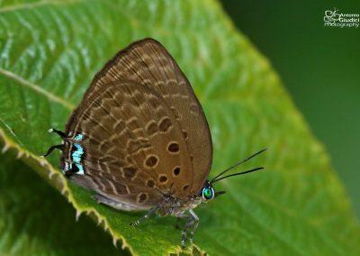 The Tailed Disc Oakblueผีเสื้อฟ้าไม้ก่อวาวกลางหางเดี่Arhopala atosia