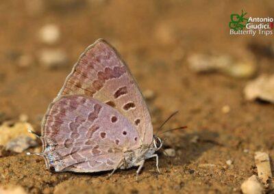 The Indian Oakblue ผีเสื้อฟ้าไม้ก่ออินเดีย Arhopala atrax