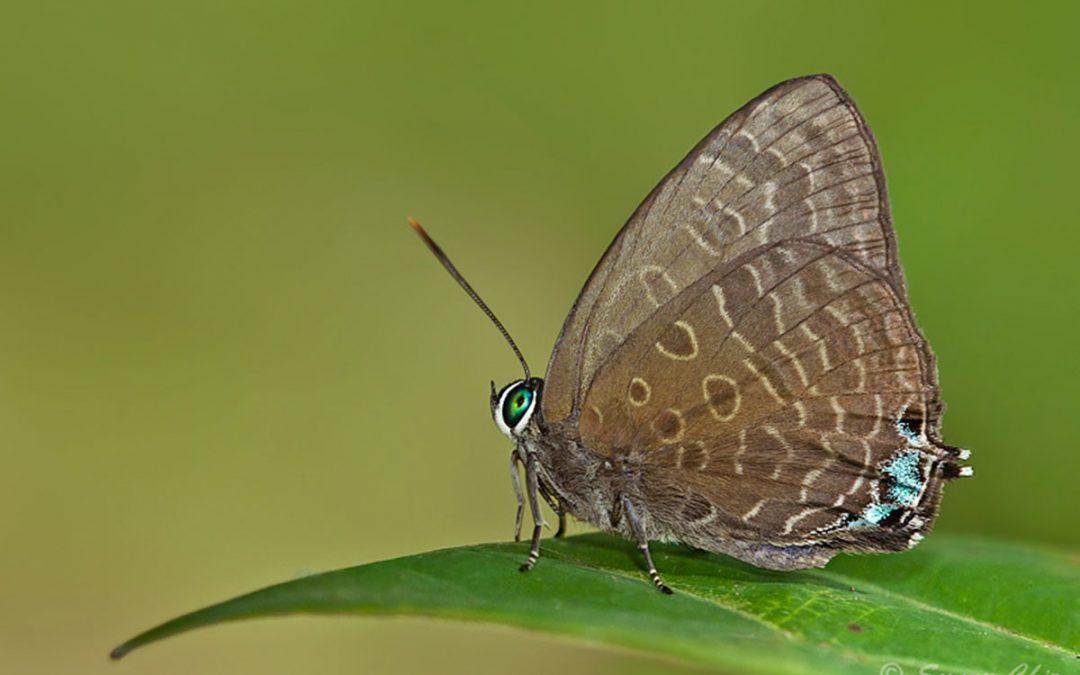 The Long-celled Oakblueผีเสื้อฟ้าไม้ก่อเซลล์ปีกหลังยาArhopala aurea