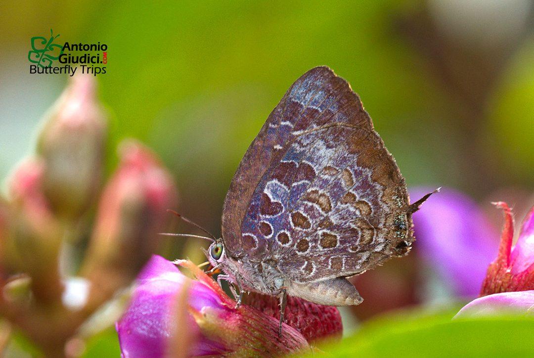 The Tamil Oakblueผีเสื้อฟ้าไม้ก่อทมิฬArhopala bazaloides