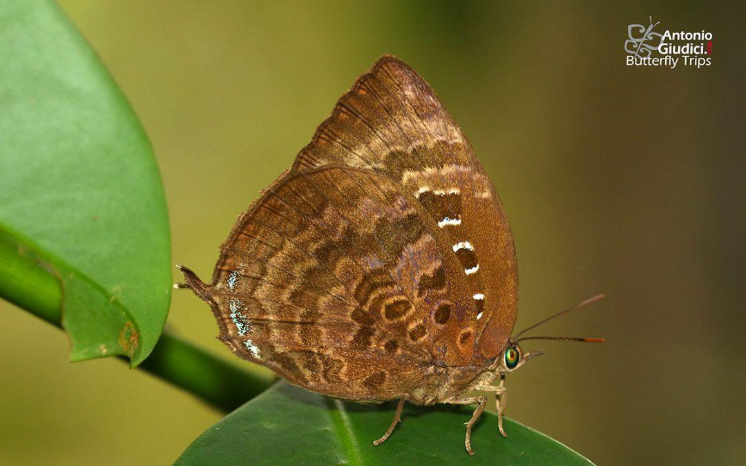 The Common Oakblueผีเสื้อฟ้าไม้ก่อมดเลี้ยงArhopala centaurus