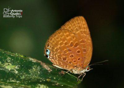 The Tailess Disc Oakblueผีเสื้อฟ้าไม้ก่อวาวกลางหางกุดArhopala epimuta
