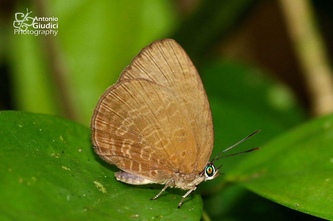 The Brown Tornal Oakblueผีเสื้อฟ้าไม้ก่อมุมสีตาลArhopala inornata