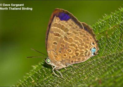 The Labuan Oakblueผีเสื้อฟ้าไม้ก่อลาบวนArhopala labuana