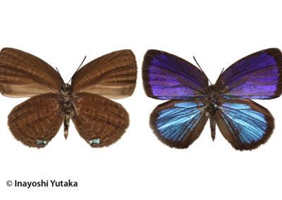 The Bicolour Oakblue ผีเสื้อไม้ก่อสองสี Arhopala metamuta