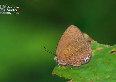 The Mutal Oakblueผีเสื้อฟ้าไม้ก่อเปลี่ยนArhopala muta