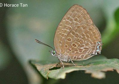 The Raffles Oakblueผีเสื้อฟ้าไม้ก่อนำโชคArhopala pseudomuta