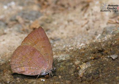 The Dark Himalayan Oakblueผีเสื้อฟ้าไม้ก่อหิมาลัยคล้ำArhopala rama